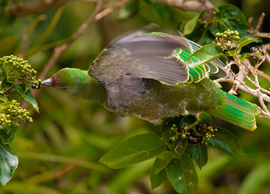 RC-2441: Mariana Fruit Dove (Ptilinopus roseicapilla) An example of a native seed dispersing frugivore whose abundance has been reduced on Guam due to invasive species.